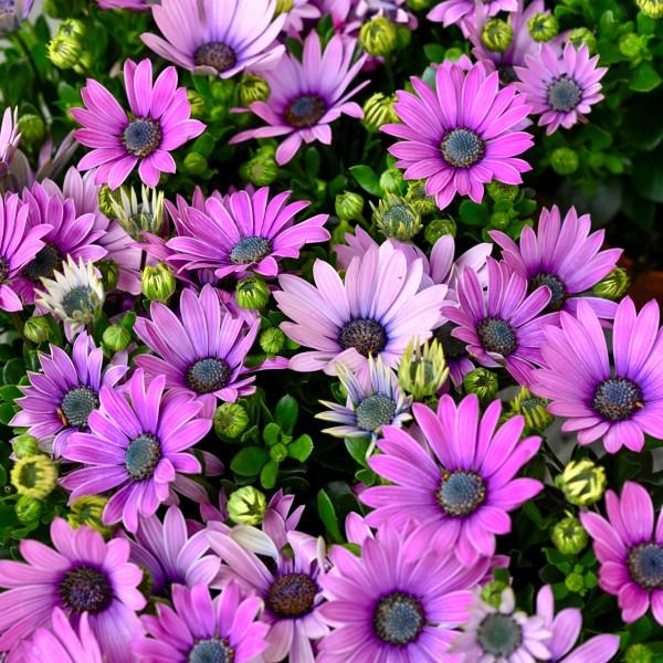 Kapkörbchen, violett