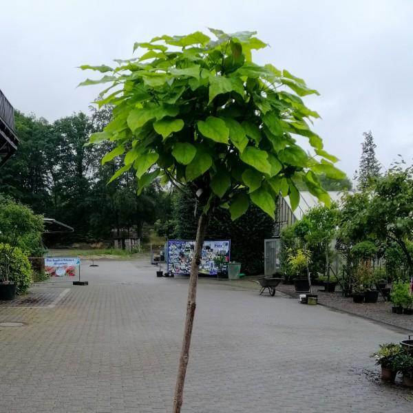 Trompetenbaum 'Nana', Kugelbaum