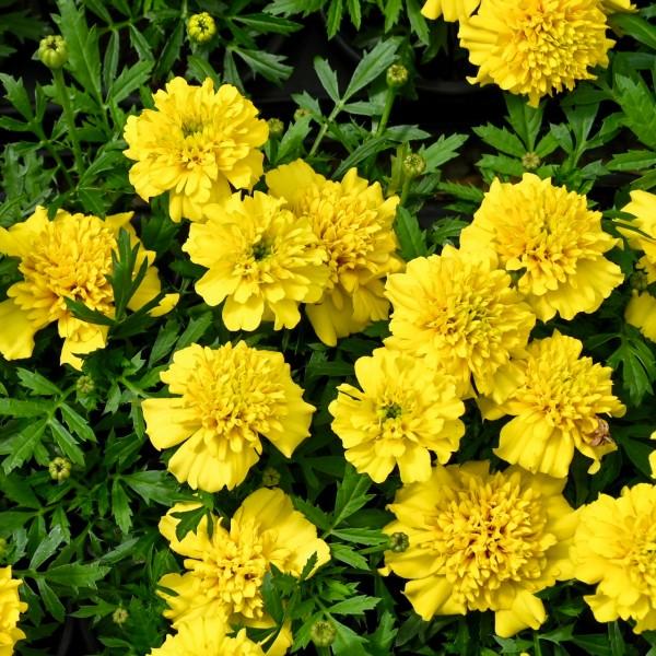 Tagetes, gelb