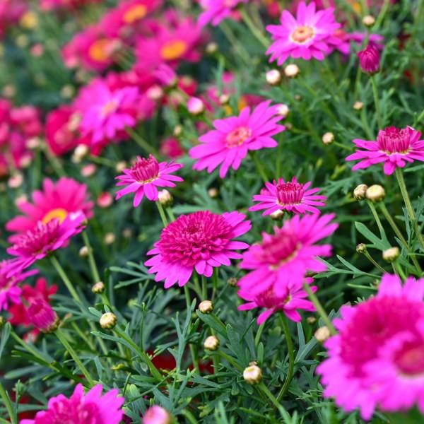 Margerite, pink