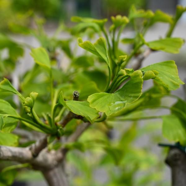 Fächerblattbaum