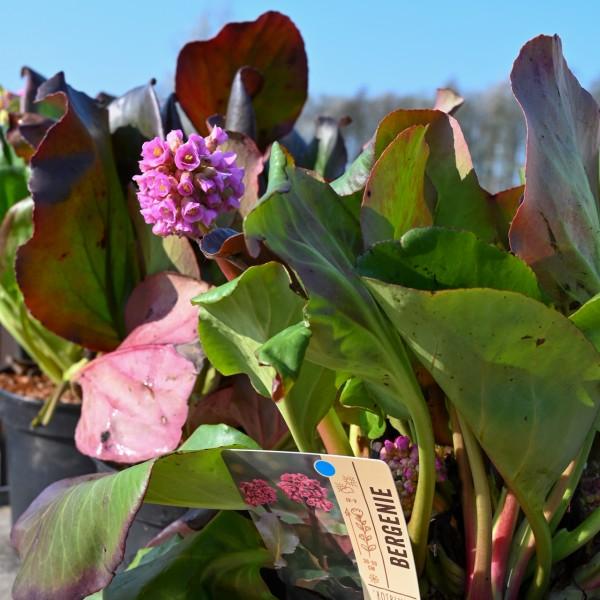 Bergenie 'Rotblum', pink-rot