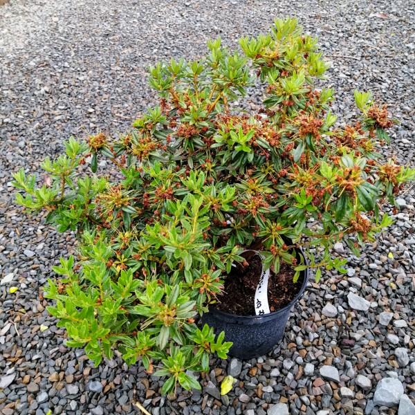 Rhododendron 'Maggie', Zwergform