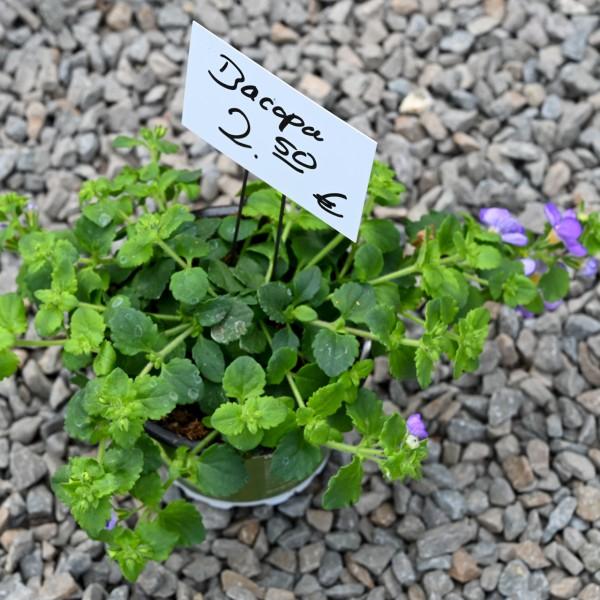 Schneeflockenblume (Bacopa), violett