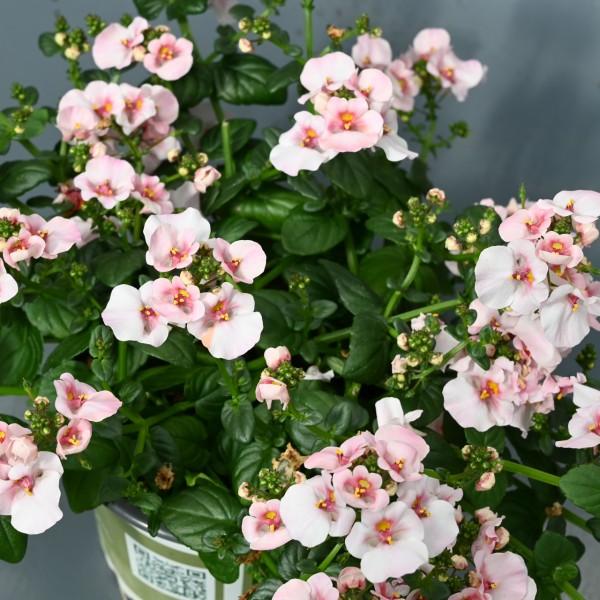 Elfenspiegel, weiß-rosa