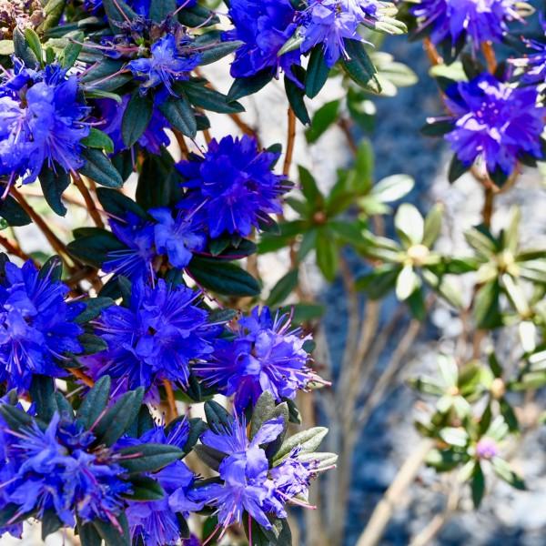 Rhododendron 'Lauretta', Wildform