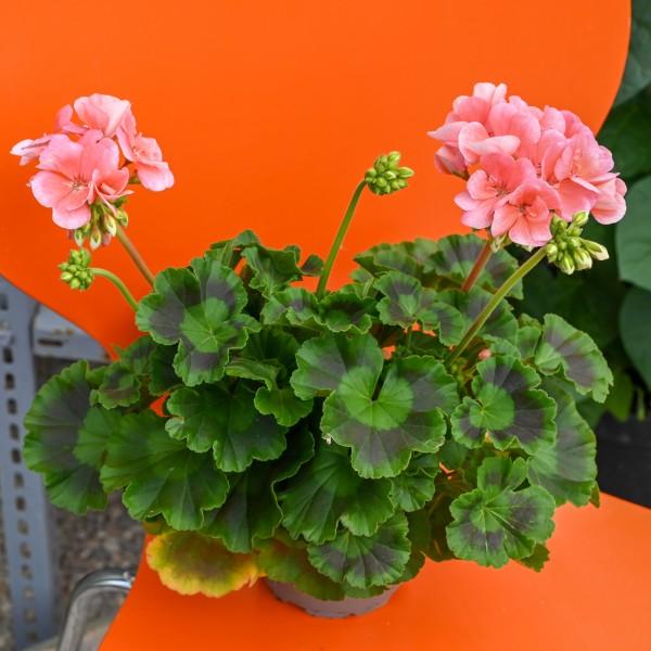 Geranie, rosa-orange