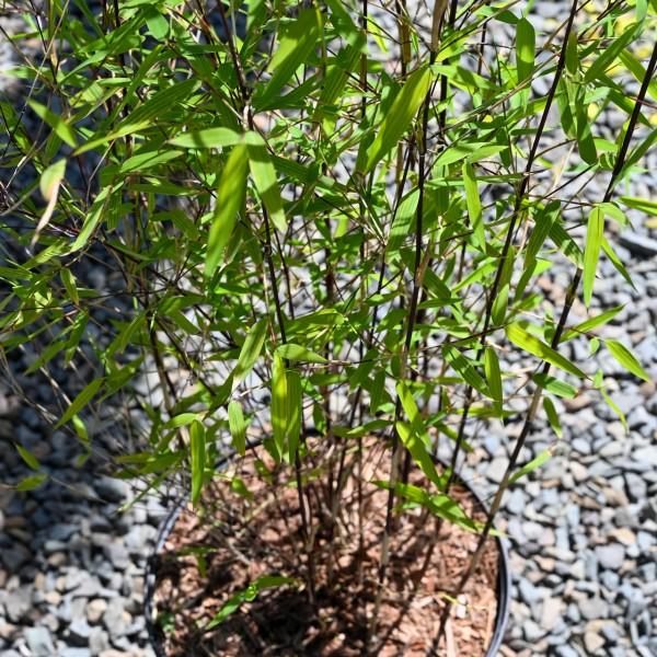 Gartenbambus 'Jiuzhaigou 1'