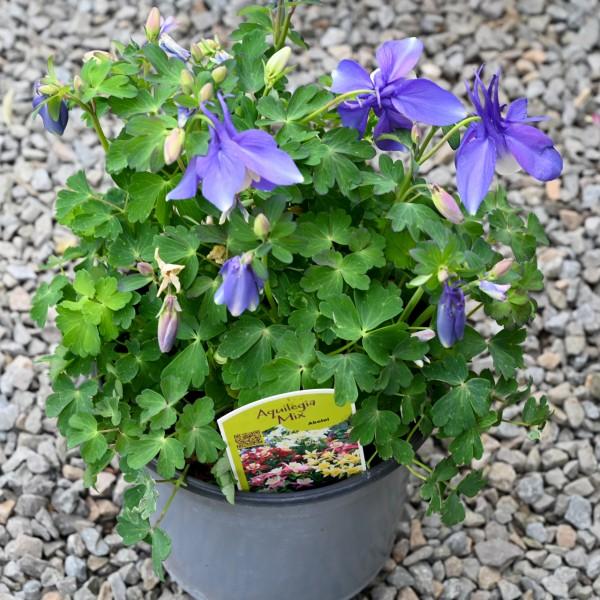 Akelei, violett