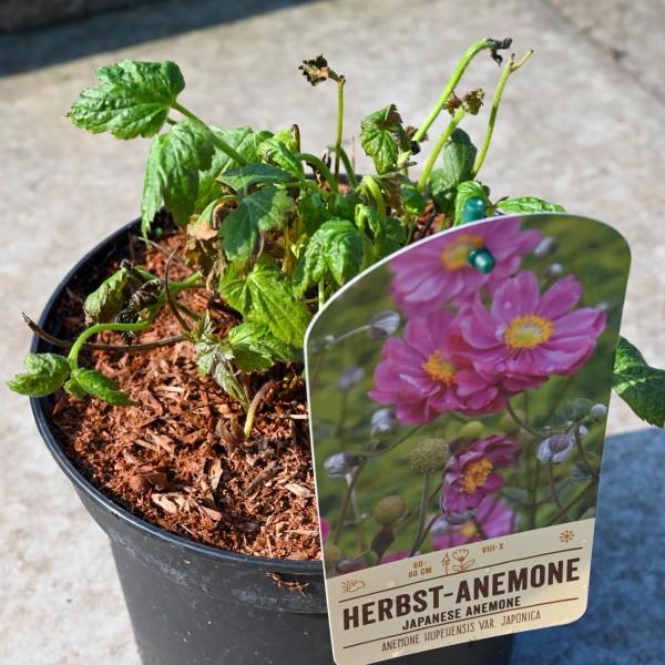 Herbst-Anemone 'Prinz Heinrich', weinrot