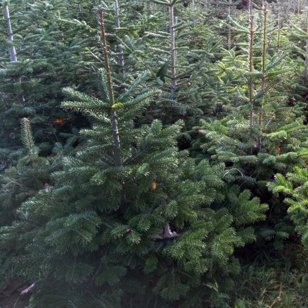 Weihnachtsbaum (zur Selbstabholung im Markt)
