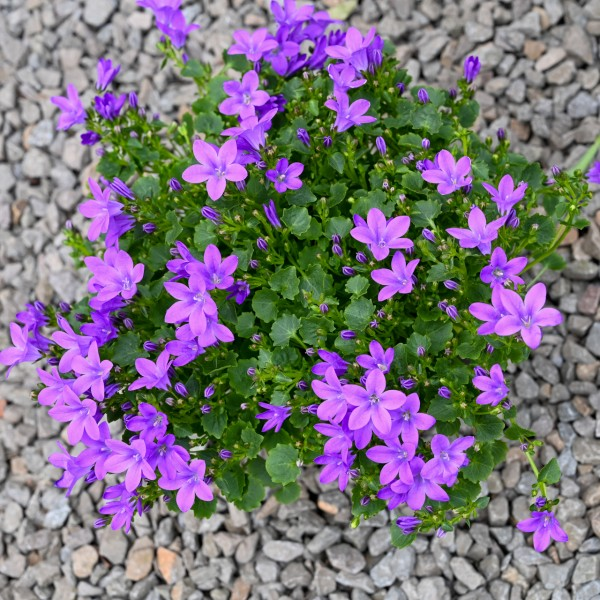 Hängepolster-Glockenblume, violett